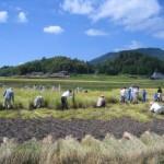 環境学習稲刈り