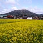菜の花畑と寒引山